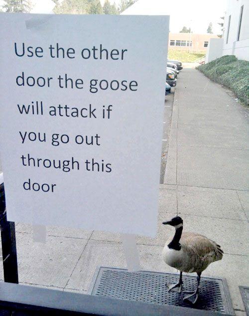 goose-attack.jpg