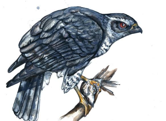 Northern Goshawk - Watercolor, 6/20